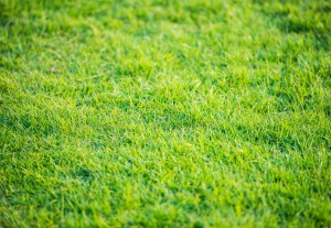 Turf grass small
